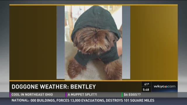 Doggone Weather: Bentley