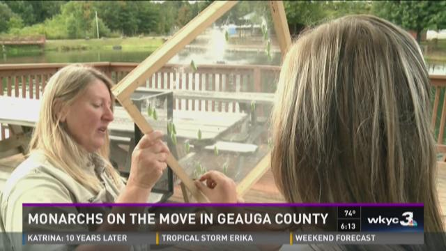 Monarchs on the move in Geauga County