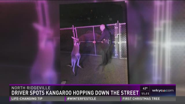 Runaway kangaroo tracked down in North Ridgeville